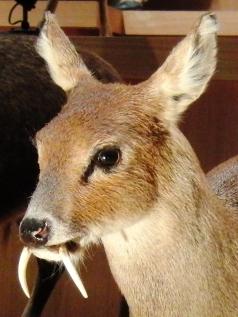 chinese_water_deer_stuffed_specimen_2